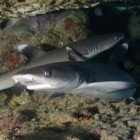 White tip reef shark / Triaenodon obesus\