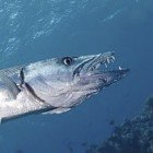 Great barracuda / Sphyraena barracuda\