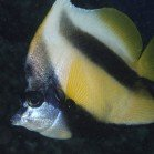 Red Sea bannerfish / Heniochus intermedius\