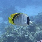 Lined butterflyfish / Chaetodon lineolatus\