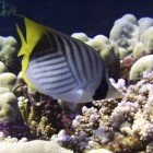 Threadfin butterflyfish / Chaetodon auriga\