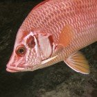 Giant squirrelfish / Sargocentron spiniferum\