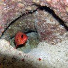 White-edged soldierfish / Myripristis murdjan\
