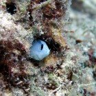Red Sea mimic blenny / Ecsenius gravieri\