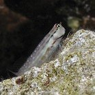 Red Sea combtooth blenny / Ecsenius dentex\