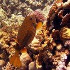 Yellow boxfish / Ostracion cubicus\