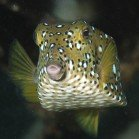 Yellow boxfish / Ostracion cubicus
