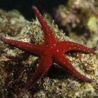 Sea Stars ' / ' Asteroidea