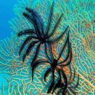 Sawtooth feather star / Oligometra serripinna\