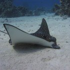 Spotted eagle ray / Aetobatus narinari\