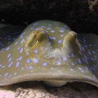 Bluespotted stingray / Taeniura lymma\