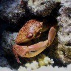 Variable coral crab / Carpilius convexus