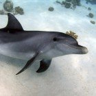 Bottlenose dolphin / Tursiops truncatus