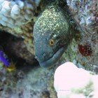 Yellow-edged moray / Gymnothorax flavimarginatus\