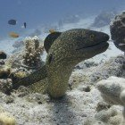 Yellow-edged moray / Gymnothorax flavimarginatus